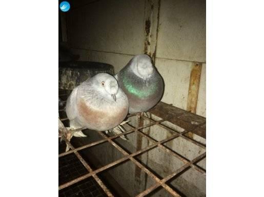 İhtiyaçtan satılık taklacı kuşlar