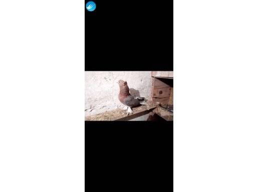 Erkek Miro güvercin satılıktır. Oyun kuşu beslediğim için