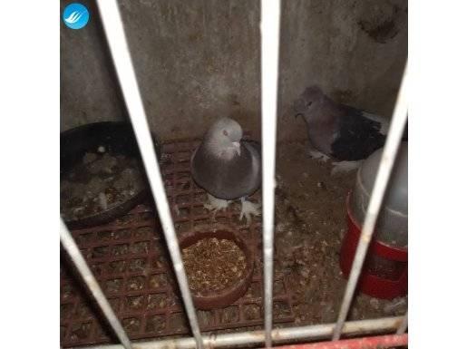 Çift düzenli yavru veren kuşlar