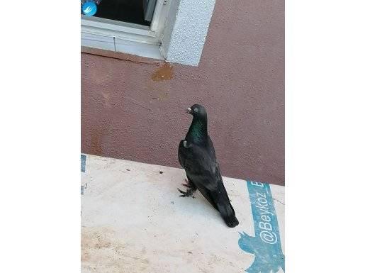 Üst düzey güvercin