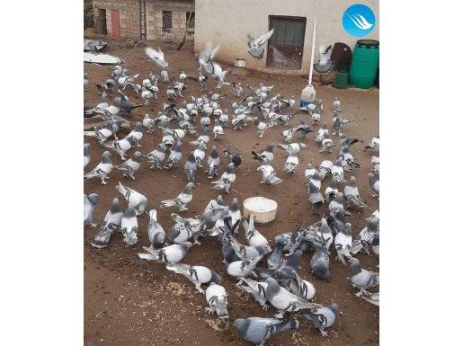 Eğitimli taklacı güvercinleri