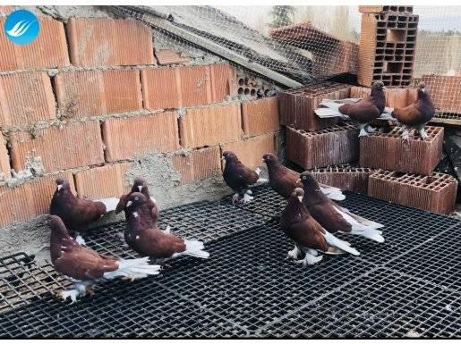 Musul Şarabi 10 Adet Hatasız Kuşlardır Takım Fiyatı