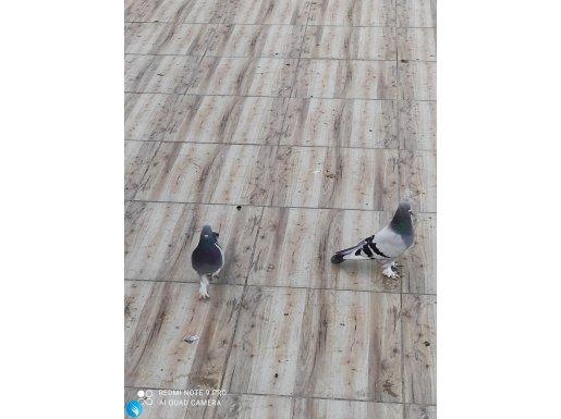 Bir çift goy seferli kaliteli kuş isteyenler eski nesil kus
