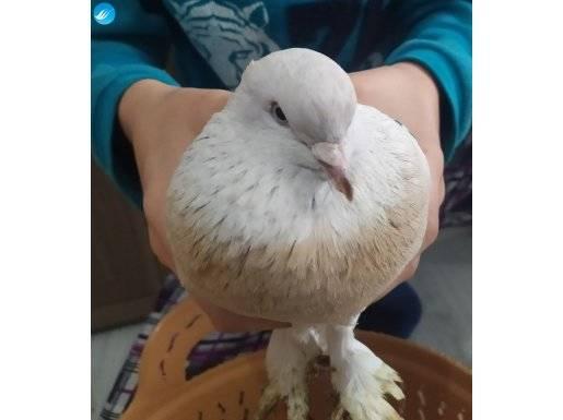 Şebap güvercin 1 tane