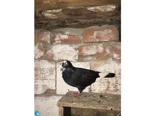 Sağlıklı uçurmalık kuş