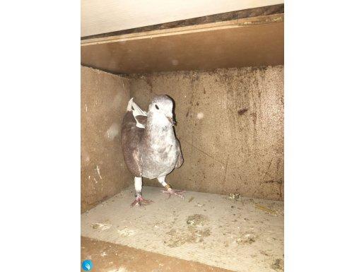 Kırma posta yavrusudur. 2 aylık
