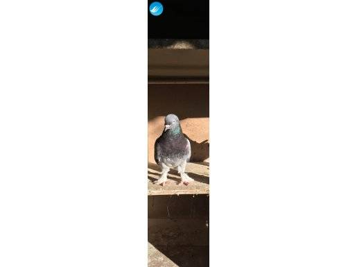 Çakmaklı Mavi Mardin