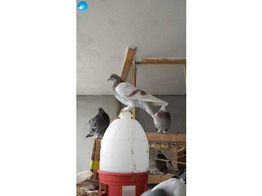 Uçurulmamış oyun kuşu yavruları