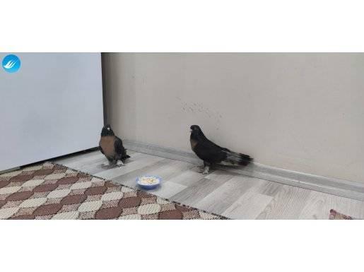 En Güzel Güvercin...Miro...