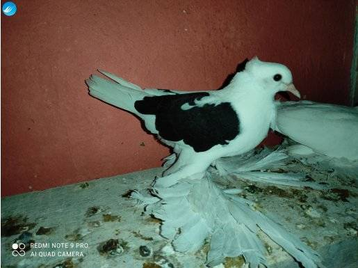 Orijinal güllü Malatya bol paça güvercini