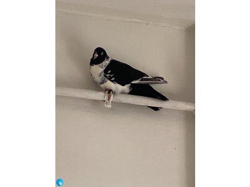 Evime giren bu güvercini sahiplendirmek istiyorum