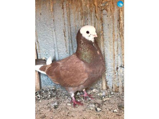 Baska güvercin