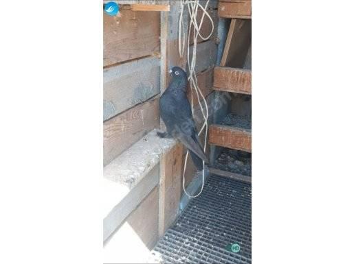 Arap güvercin