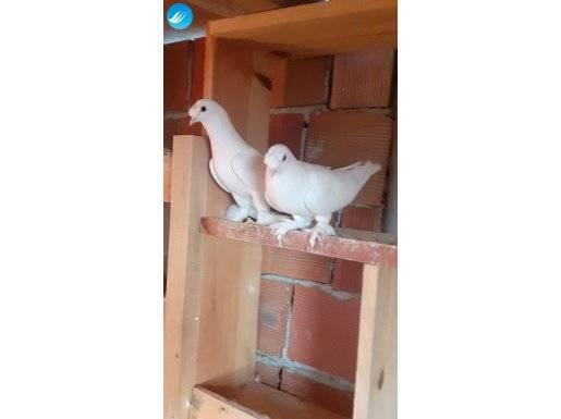 Oyunlu süt beyaz kuşlar