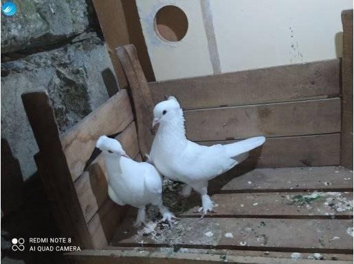 Güvercinler çok iyi