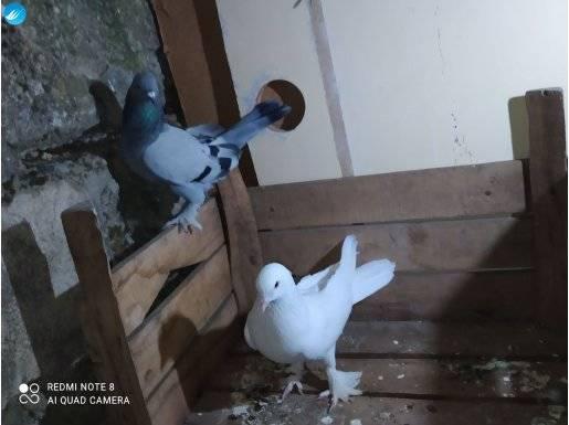 Güvercinler ikiside odalıktır beyazı sökük deyildir