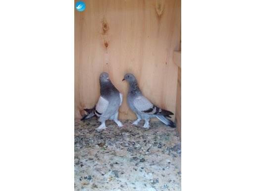 Profesyonel oyun kuşu