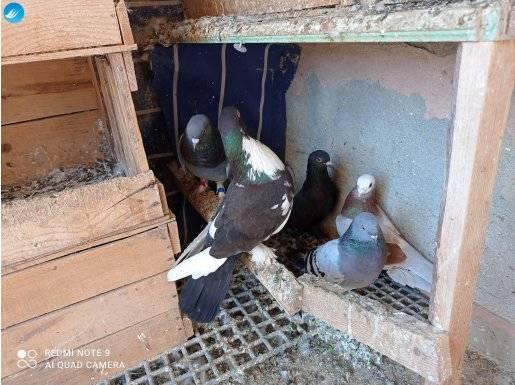 Yakalama 5 adet güvercin