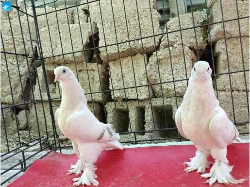 1. sınıf kaliteli şebab güvercinler