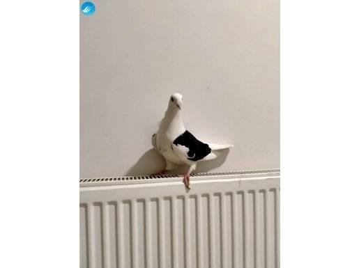 Kanat posta güvercini