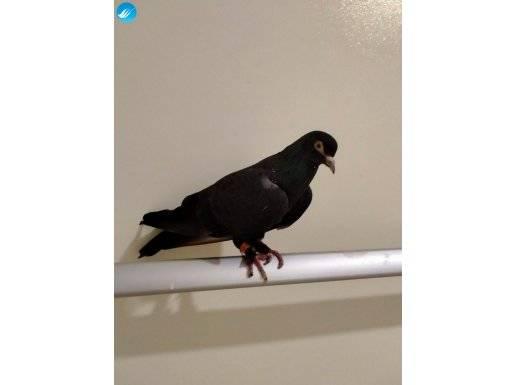 Genç oyun kuşu