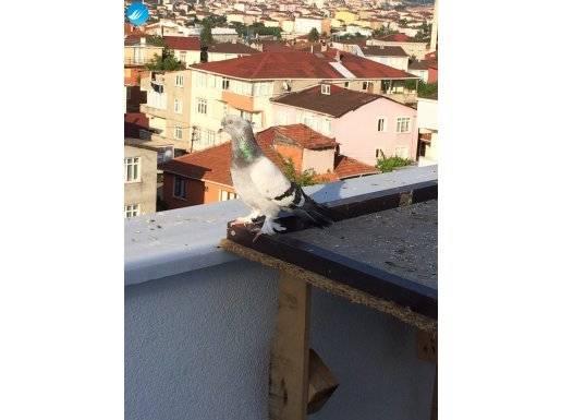 seferli oyun kuşudur izletilir