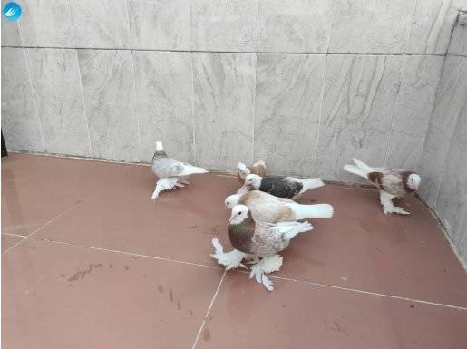 Malatya güvercinleri