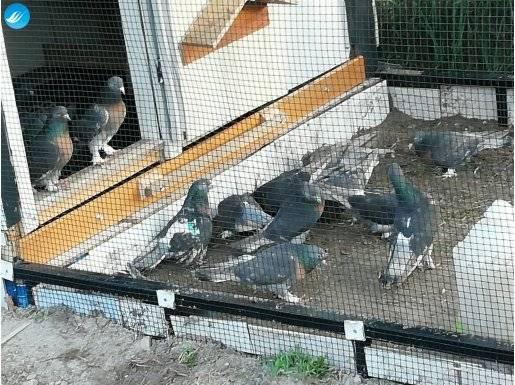 Mükemmel Yavru Miro Güvercinler..
