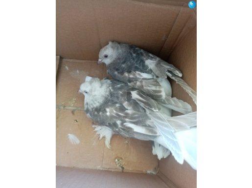 Çift şebap sağlıklı ve süs kuşu fiyatta pazarlık va(batman)
