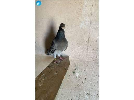 Çakmaklı alman yarış posta güvercini