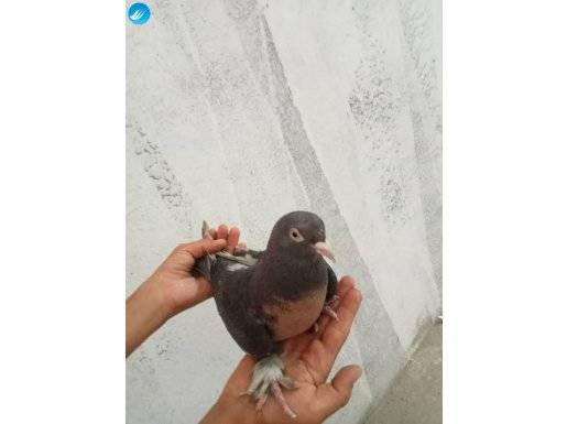 1 çift Miro kuşudur