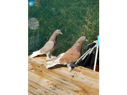 3 takım güvercin