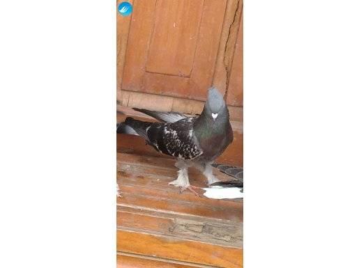 Çok güzel oyunlu çakmaklı genç güvercin açıklamayı okuyun