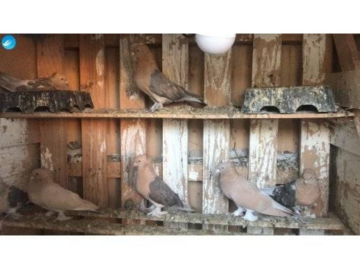 Kuveyt kuşları