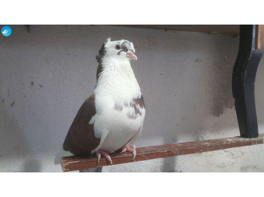 satılık bayburt güvercini