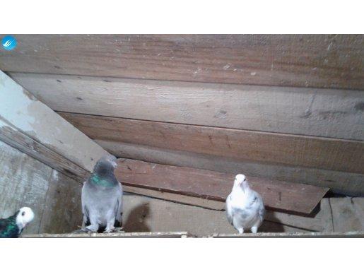sağlık güvercinler