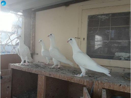 Muhteşem beyaz patikli kuşlar