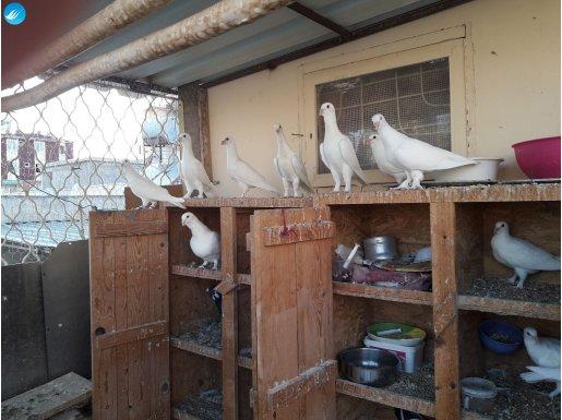 Adana yerli güvercini süt beyaz patikli..