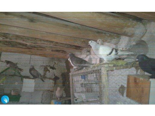 Amed güvercinleri etkili oldu bence...:)))