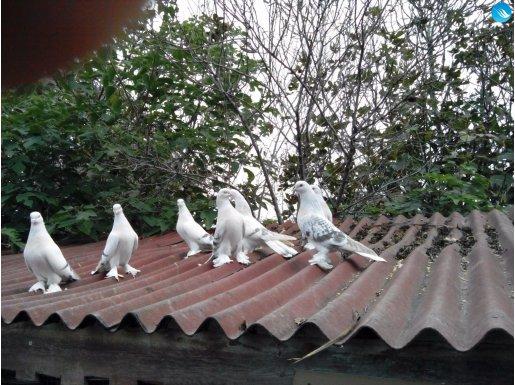 Kaliteli Sebap Güvercin