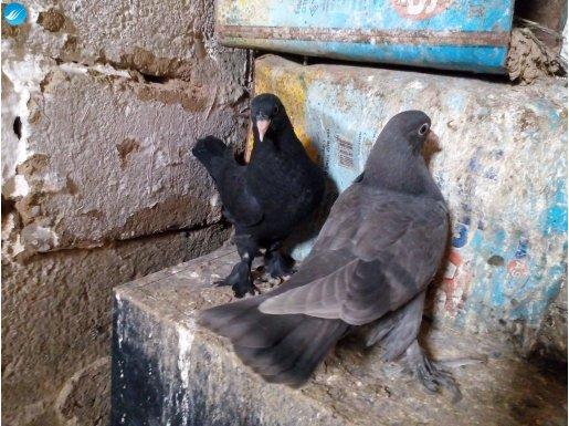 içerden taklacı müthiş kuşlar