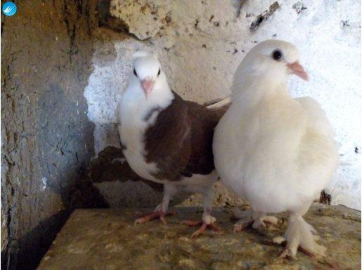 müthiş süs kuşları