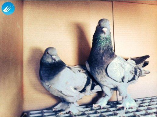 Çok iyi ve uygun fiyata oyun kuşları