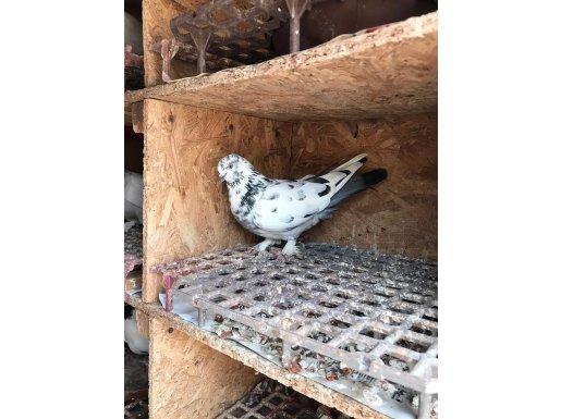 Van kuşları
