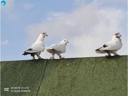 Satılık Güvercinler