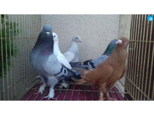 5 kuş toptan